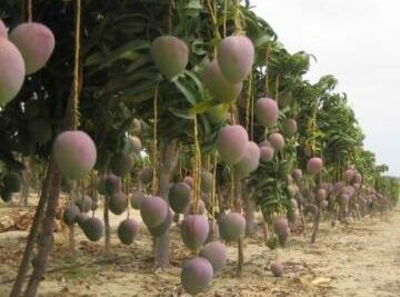 Training Course in Tropical and Subtropical Fruit Trees