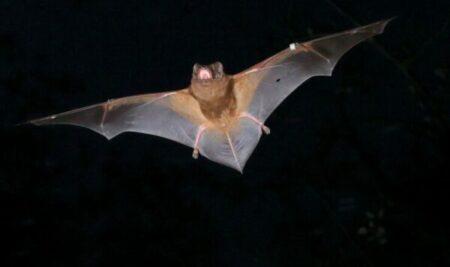 Un solo murciélago come entre 1.000 y 3.000 mosquitos cada noche