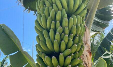 Plátano de canarias: subvención para los productores