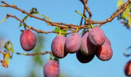 """¿Cultivas frutos de hueso o pepita? Te interesará: """"Tratamiento de otoño-invierno en frutales de hueso y pepita"""""""